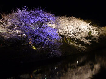 夜桜見物に行って来ました