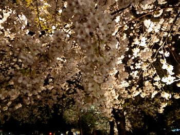 城内の桜2