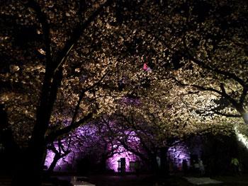 城内の桜3