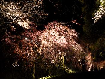 城内の桜4
